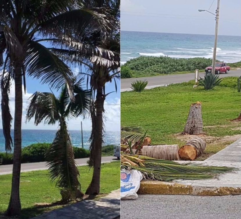 Denuncian en redes sociales tala innecesaria de palmeras en Isla Mujeres