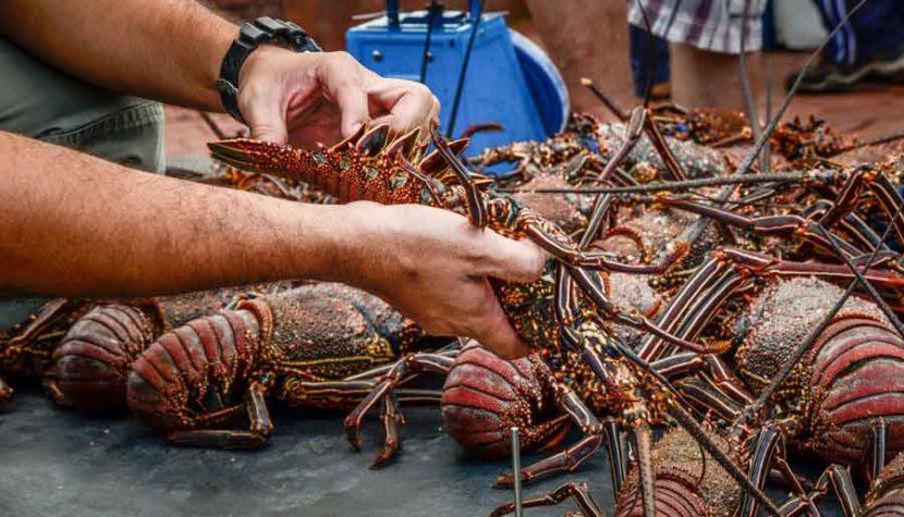 Pescadores de Quintana Roo esperan cerrar la temporada con 330 toneladas de langosta