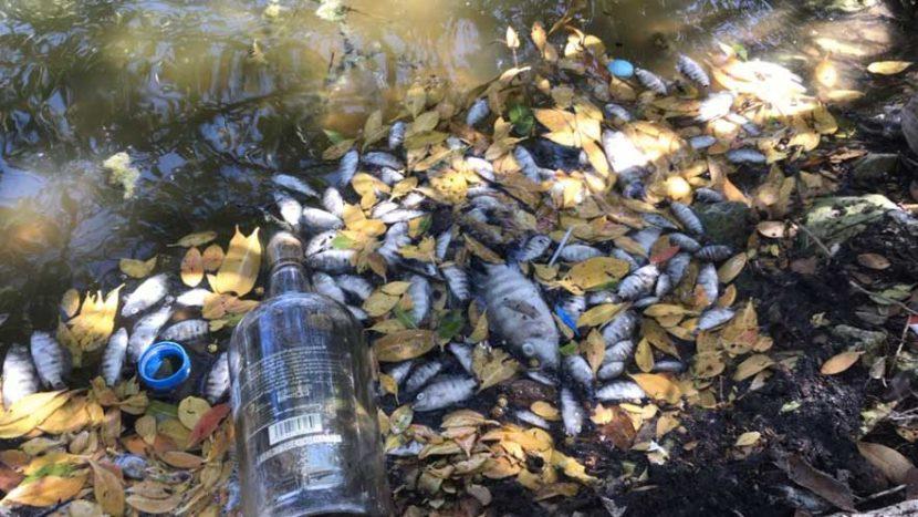 Aparecen otra vez peces muertos en Salina de Isla Mujeres